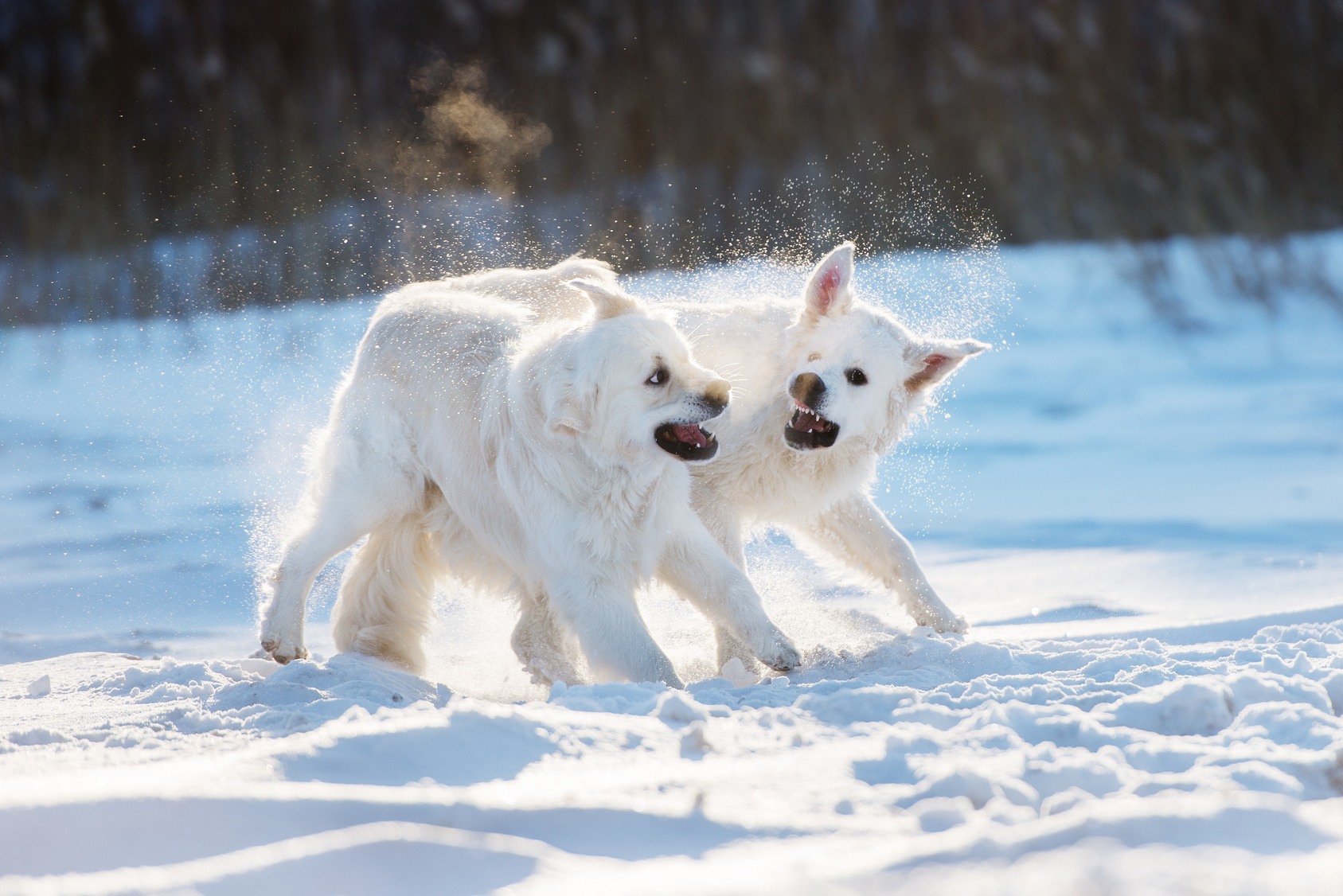 two golden retriever dogs playing in the snow